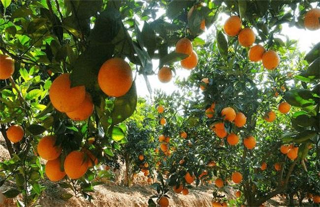 脐橙 种植 方法