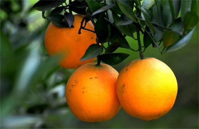 脐橙 落叶 怎么办