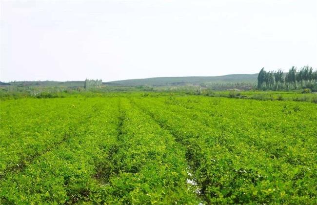 甘草的养殖方法和注意事项