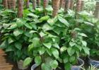 绿萝养殖方法和注意事项