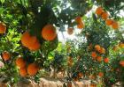 脐橙该怎么种