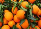 脐橙价格多少钱一斤