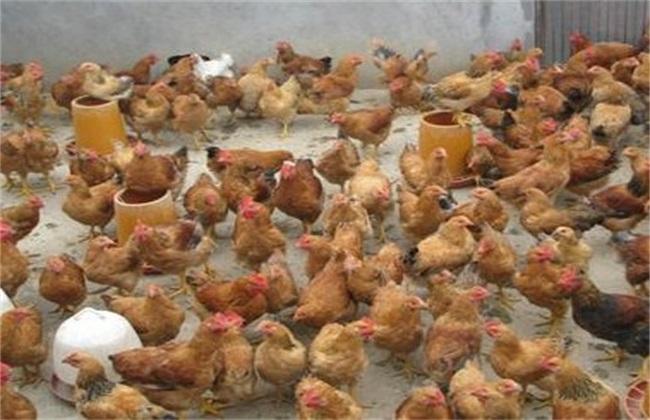 土鸡养殖成本