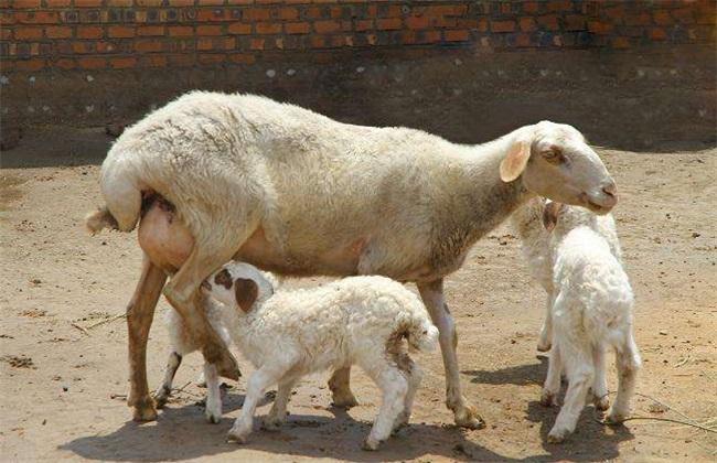 如何提高母羊受胎率