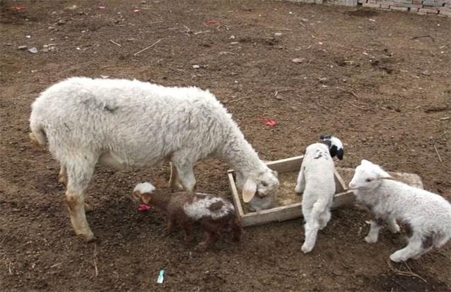 如何提高 母羊 受胎率
