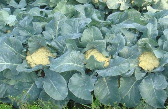 花椰菜的田间管理