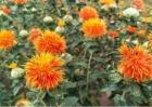 红花种植要求