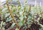 铁皮石斛生长环境