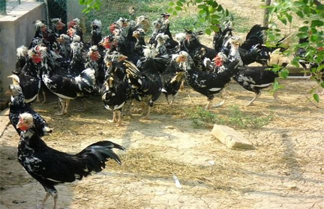 贵妃鸡的饲养管理