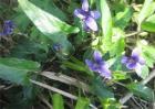 紫花地丁的种植方法