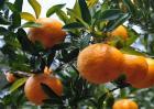 芦柑的种植技术