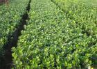 冬青的种植方法