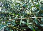 铁皮石斛种植技术