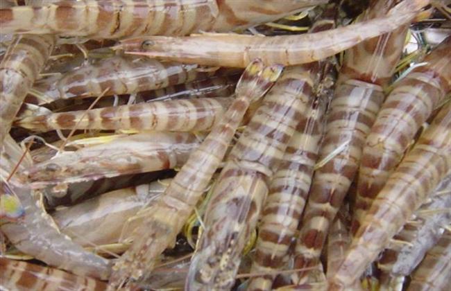 养殖一亩基围虾可以赚多少钱