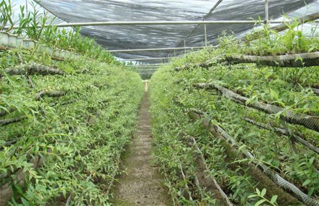 石斛种植的施肥方法