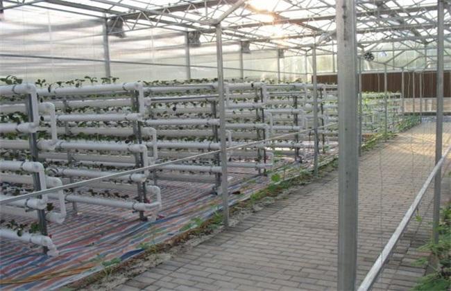 香菜 无土栽培 技术