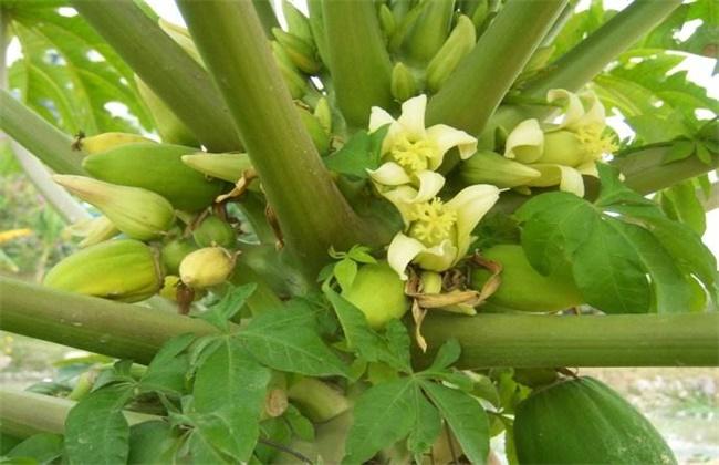 木瓜的花期管理技术