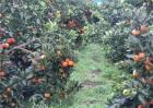 血橙的种植技术