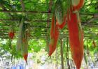 变色瓜的栽培技术
