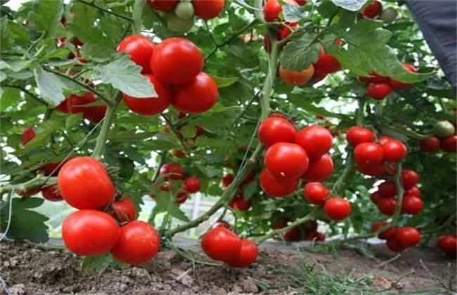 西红柿 生长环境 要求