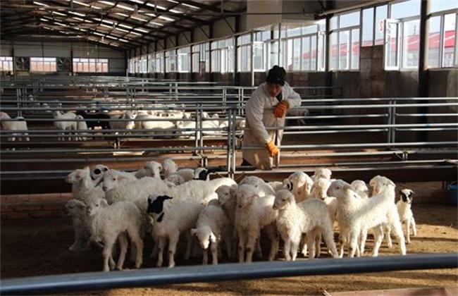 肉羊 养殖效益 影响因素