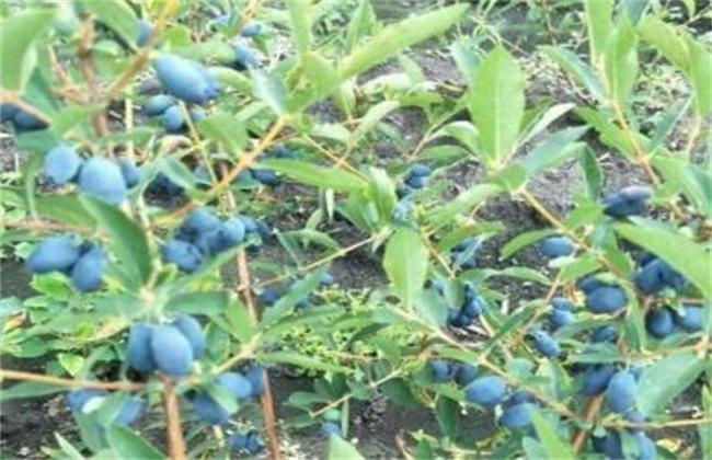蓝靛果的种植技术