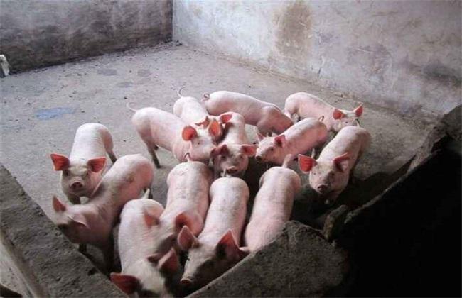 仔猪 管理 注意事项