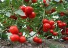 西红柿生长环境要求