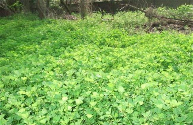 金花菜 种植 方法