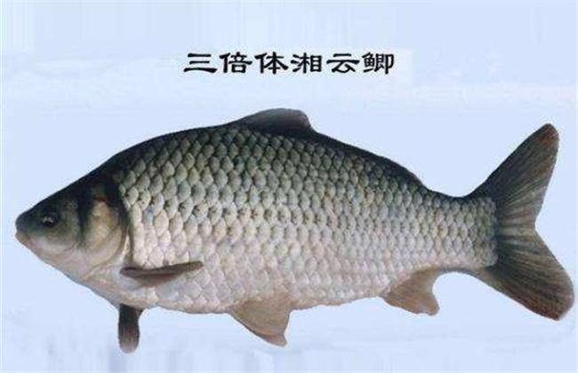 鲫鱼有哪些品种