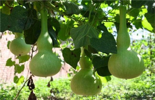 葫芦 种植 方法