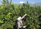 柚子冬季管理技术