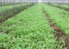 皇帝菜的种植方法