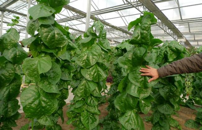落葵 栽培 技术