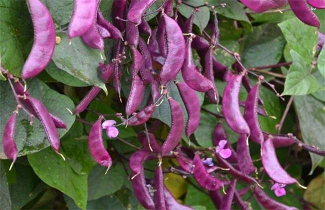 眉豆的种植方法