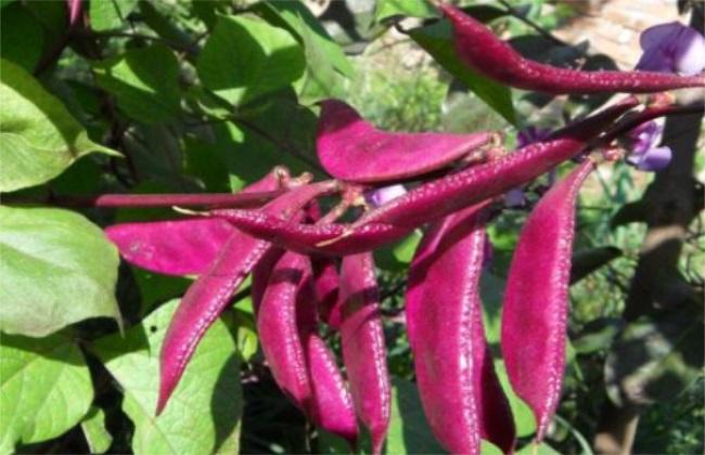 眉豆 种植 方法