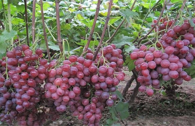 葡萄 栽培 技术要点