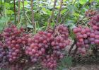 葡萄的栽培技术要点