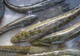 黑鱼养殖的要点