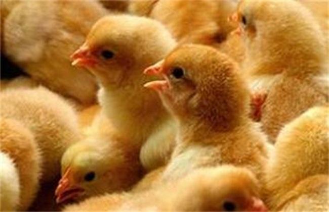 如何选择优质鸡苗