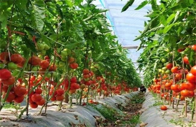 樱桃的种植条件