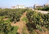 柿子树的种植技术