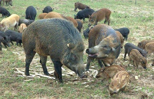 养殖野猪的管理要点