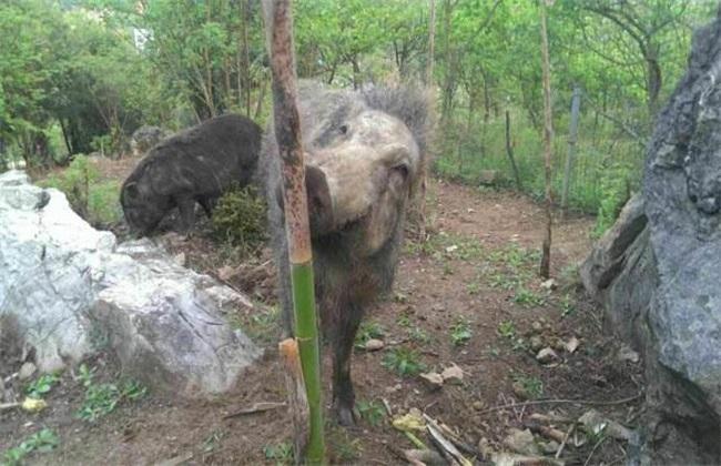野猪 养殖 管理要点