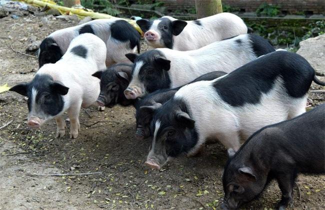 养殖 香猪 注意事项