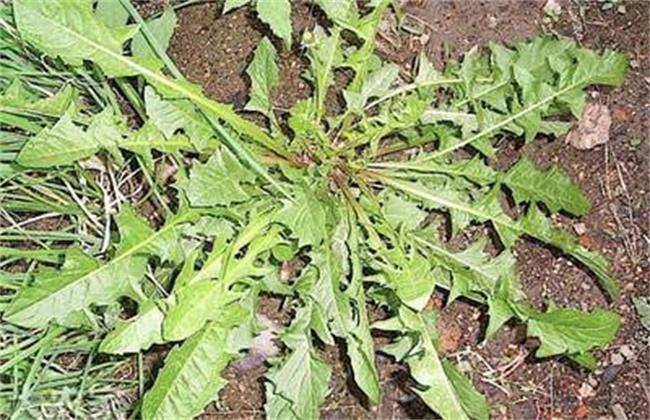 荠菜病虫害的防治方法