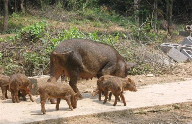 特种野猪养殖技术