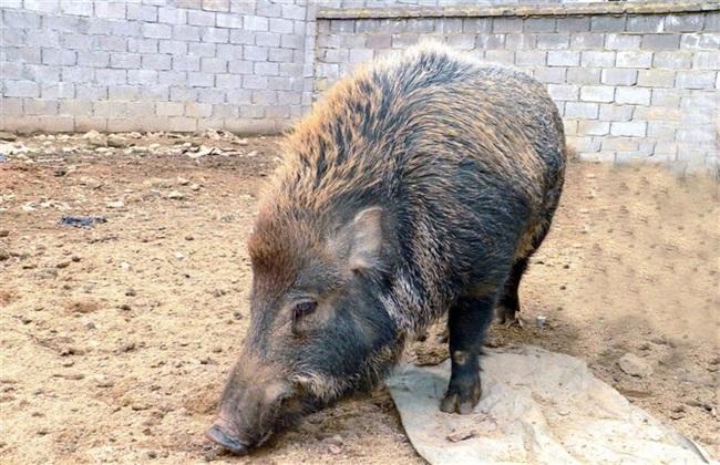 特种野猪 养殖 技术