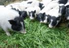 养殖香猪的注意事项