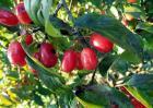 山茱萸的种植方法